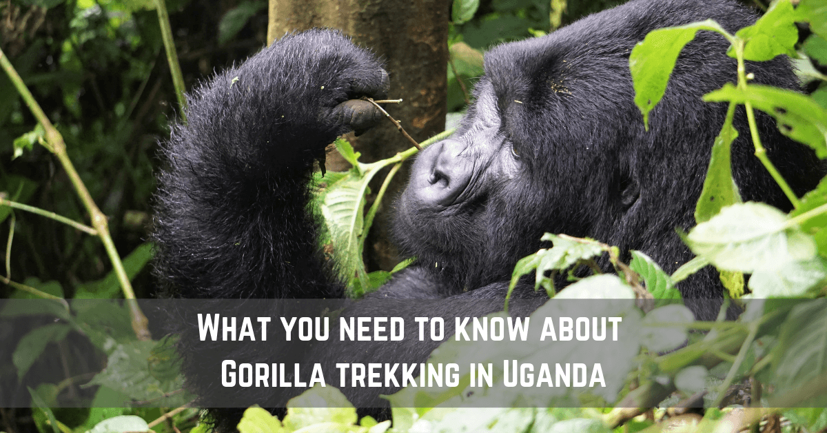 What You Need To Know About Gorilla Trekking In Uganda
